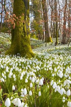 Snow Drops (bulbs) that have spread beautifully!
