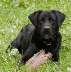 ELTON   Type : Labrador Sexe : Mâle Age : Adulte Couleur : Noir  Taille : Grand Lieu : Loir-et-Cher - 41 (Centre)  Refuge :  Refuge de la SPA 41(Loir-et-Cher) Tél : 02 54 79 57 85
