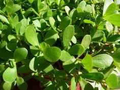 """Wild Purslane Plant, A Common """"Weed"""" or Edible Super Green? Covers all bases of my favorite wild green"""