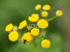 detailed shot of ants on flowers. - Detailed image of ants on yellow flowers.