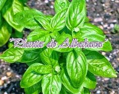 Im growing my own fresh herbs and basil smells delicious so I've chosen it to be my first herb plant. Bonsai, Easy Care Plants, Basil Plant, Fertilizer For Plants, Organic Fertilizer, Organic Gardening, Gardening Tips, Edible Plants, Edible Garden