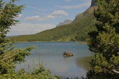 Bull Moose in Red Rock Lake.