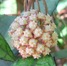 Hoya finlaysonii Wax Flower