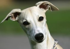 dog whippet - Google Search
