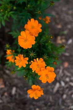 An All America Winner for the dwarf one foot plants are covered with sunny orange blossoms that will bloom throughout the summer if deadheaded. Dependable and simple t Cosmos Flowers, Flowers Nature, Exotic Flowers, Orange Flowers, Pretty Flowers, All Flowers, Flower Planters, Flower Pots, Orange Plant
