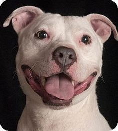 Chicago, IL - American Pit Bull Terrier Mix. Meet Snow, a dog for adoption. http://www.adoptapet.com/pet/12557280-chicago-illinois-american-pit-bull-terrier-mix