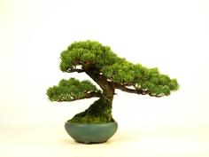 "I introduce ""Bonsai"" of small size (20cm - 35cm)."