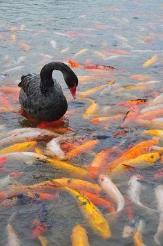 Black swan in koi pond.