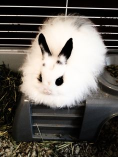 chester - my angora bunny