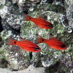 Central American Red Cardinalfish (Trio) (Apogon dovii) Marine Aquarium Fish, Reef Aquarium, Saltwater Aquarium, Aquariums, Ocean Life, Pet Accessories, Sea Creatures, Sea Shells, Pets
