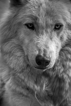 Wolf photography. Arctic wolf photo print. by WildnisPhotography