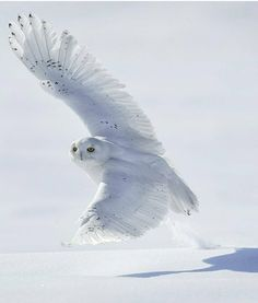 Extended Takeoff . Photography by @ ( Jose Albero). Snowy Owl Quebec Canada. #1fakt 1fakt.tumblr.com