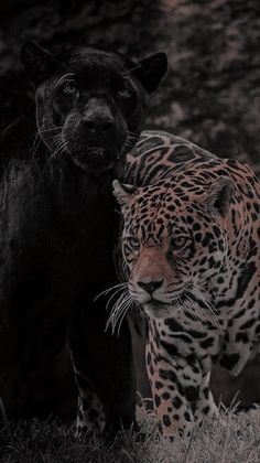 Lion Wallpaper, Black Wallpaper Iphone, Animal Wallpaper, Animals And Pets, Cute Animals, Black Jaguar, Poor Little Rich Girl, Cute Animal Pictures, Aesthetic Art