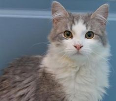 Thunder is an adoptable Domestic Long Hair - Gray And White Cat in Eugene, OR. THUNDER is an affectionate, adventurous little long-haired gray and white male teenager kitty with faint tabby markings i...