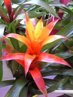 plante exotique intérieur | plantes exotiques bromelia orangé rouge prune jaune curcuma rose ...