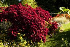 A Spot of Color    Flowers aren't the only plants that can bring color to your garden!    Coleus in the Home Gardening Center (photo by Ivo M. Vermeulen)