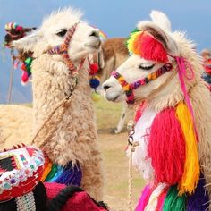 Do you know where in the world you can find llamas this stylish? how cute are they? Alpacas, Animals And Pets, Baby Animals, Funny Animals, Cute Animals, Cute Creatures, Beautiful Creatures, Animals Beautiful, Peru Llama