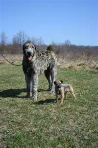 ♥Irish Wolfhound ♥ Brian and I have both agreed this will be our next pet!!