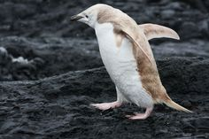 """White"" Chinstrap penguin. Though the penguin looks like an albino, the bird actually appears to have isabellinism, a genetic mutation that dilutes pigment in penguins' feathers."