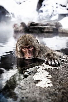 Japanese Macaque in the warmth of the thermal springs.