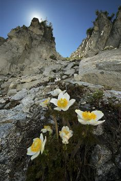 Rare Flowers, Wild Flowers, Beautiful Flowers, Alpine Flowers, Alpine Plants, Yosemite Mountains, Trinity Alps, Bloom Where Youre Planted, Camping And Hiking