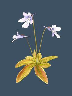 Plante Carnivore, Plant Tattoo, Pitcher Plant, Carnivorous Plants, Plant Art, Flower Images, Botanical Prints, Apocalypse, Flower Power