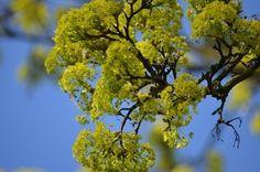 Hmmm.... tut das gut #baum #tree #frühling #spring #ahorn #ahornblatt