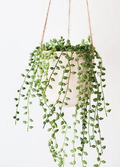 String of Pearls | 6 inch | Senecio Rowleyanus | Live Succulent Hanging Plant | Indoor Plant | House Plant