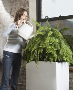 Watering A Boston Fern: Learn About Boston Fern Watering Needs - Watering a Boston fern isn't rocket science, but understanding how much and how often to water Boston fern requires a bit of practice and careful attention. Too much or too little water are both detrimental. Click here for more info.