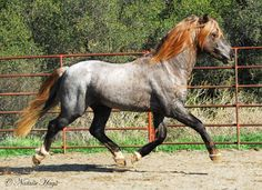 Welsh pony Rise N Shine Daydream Believr H (liver chestnut roan with two red roan parents) All The Pretty Horses, Beautiful Horses, Animals Beautiful, Welsh Pony, Majestic Horse, Horse Pictures, Horse Love, Belleza Natural, Horse Breeds