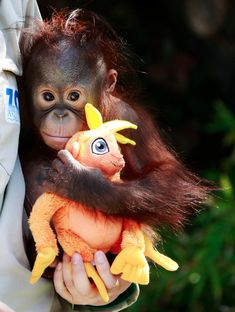 All babies love doggies, even primates!    A zoo keeper holds a 9-month-old baby orangutan orphan named Boo as he plays with a toy. (Reuters : Andrea Comas)
