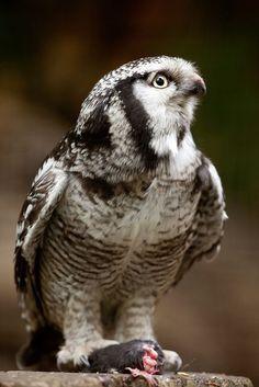 Hawk Owl 1