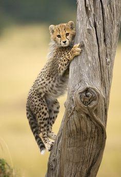 Juvenile Cheetah learning to climb .