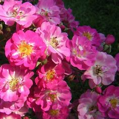 Musk roses for the set