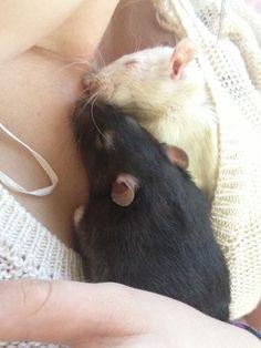 Beloved pet rats Snowy & Rosie [I miss my rat Clive - I named him after…