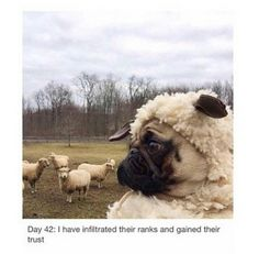 Pugs have a variety of facial expressions. For that reason, pug memes are funny and I hope these 101 dog memes featuring pugs bring a smile to your day! Pug Pictures, Funny Animal Pictures, Funny Animals, Cute Animals, Pug Meme, Amor Pug, Cute Pugs, Funny Dogs, Animal Humor