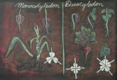 Age 11 ~ Botany ~ Monocots and Dicots