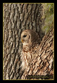 Barred Owl ~ Nature's Camouflage Pinned by www.myowlbarn.com