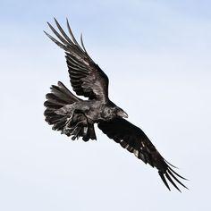 flying ravens - Поиск в Google