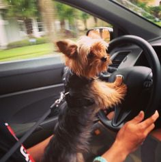 Does your Yorkie do this too?