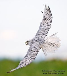 Falcons - Michigan Hawking Club