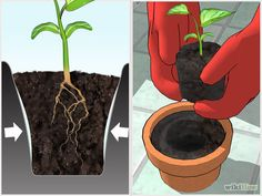 Image intitulée Grow Bell Peppers Indoors Step 11
