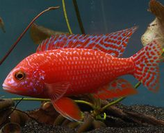 Dragon Blood Peacock Firefish. The Dragon Blood is a very nice hybrid within the hobby and the picture displayed is one of our breeder males. It is not 100% known where this hybrid originated but it has become one of the most popular fish within the hobby. There is a lot of variation in the male offspring. Some appear bright red, some are more pink/orange. All of the females are light pink. THE FISH PICTURED IS A FULLY COLORED UP DOMINANT RED MALE.
