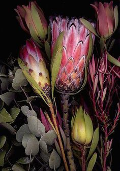 18 Fantastic Photo Scanner To Flash Drive Photo Scanner Stand Alone Protea Art, Protea Flower, Protea Bouquet, Australian Native Flowers, Australian Plants, Australian Wildflowers, Botanical Illustration, Botanical Prints, Wild Flowers