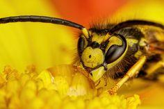 Baited Wasp I by dalantech