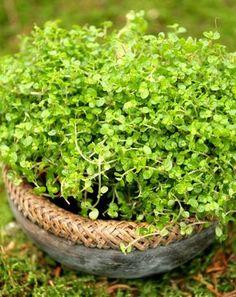 soleirolia soleirolii ou helixine Plantation, Gardening Tips, Herbs, Cottage, Jewels, Plants, Home, White Gardens, Courtyard Gardens