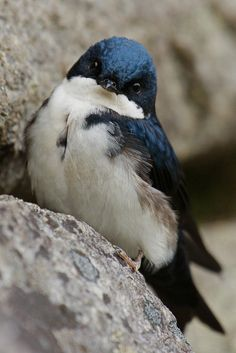Blue And White Swallow Photos By Dave2x