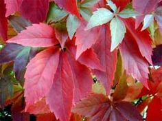 ) Virginian creeper, Woodbine, five-finger-ivy (Eng. Shade Garden, Garden Plants, Virginia Creeper, Autumn Garden, Creepers, Go Outside, Flower Power, Vines, Home And Garden