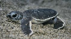 Baby sea turtles are the cutest little things I have ever seen!! :)