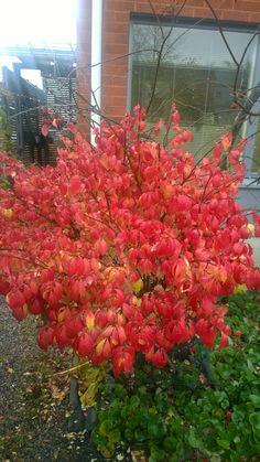 Sorvarinpensas syysruskassa Plants